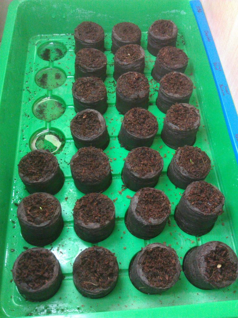 Seeds starting in coconut tablets