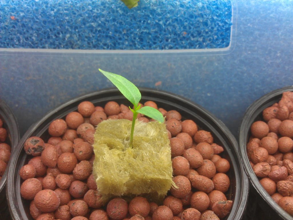 Little plant in stone woll and clay rocks